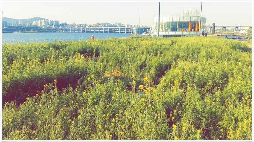 반포 서래섬 유채꽃밭 1