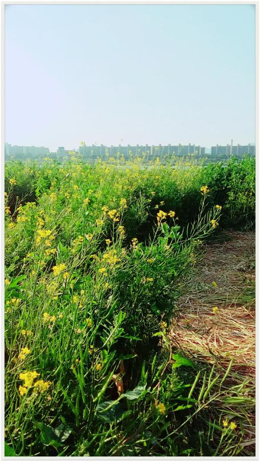 반포 서래섬 유채꽃밭 2