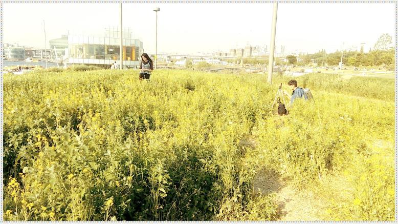 반포 서래섬 유채꽃밭 3