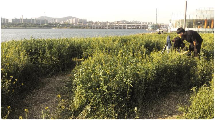 반포 서래섬 유채꽃밭 5