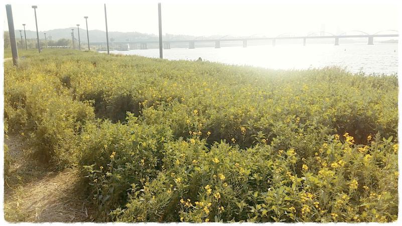 반포 서래섬 유채꽃밭 6