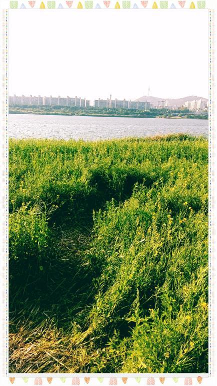 반포 서래섬 유채꽃밭 7