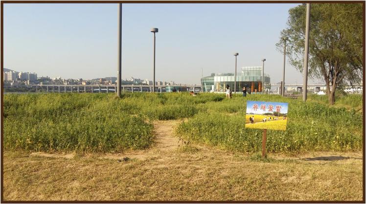 반포 서래섬 유채꽃밭 시작 포인트 1
