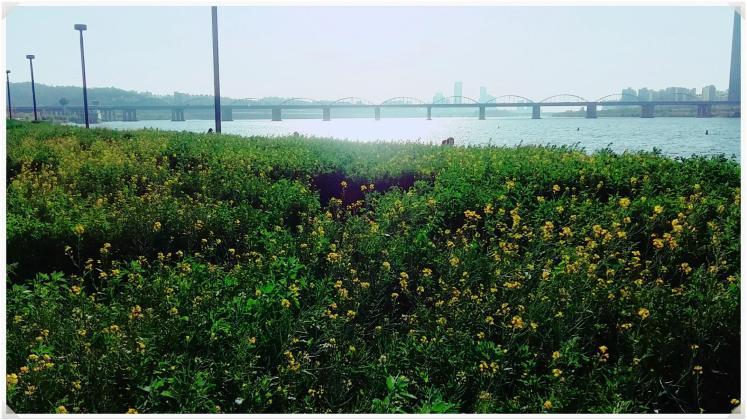 반포 서래섬 유채꽃밭